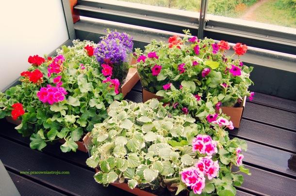 ogrodnictwo balkonowe sadzoniki